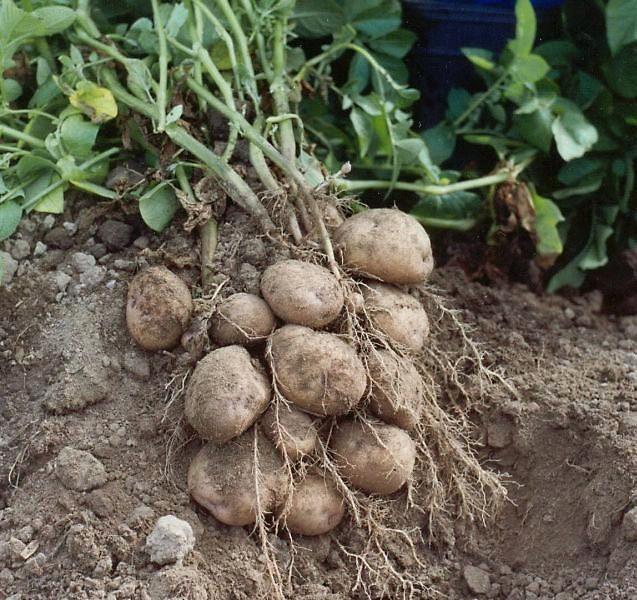 Ах картошка